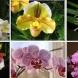 Правила при отглеждане на орхидеи - Фаленопсис Онцидиум Дендробиум