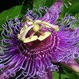 Как се отглежда пасифлора