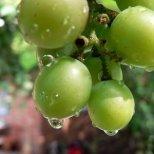 Маслото от гроздови семки е полезно много за косопад