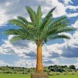 Как се отглежда финикова палма у дома