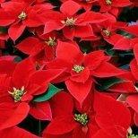 Подарете си Коледна звезда за Коледа