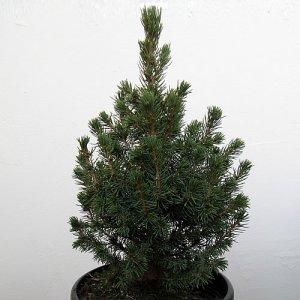 Как се отглежда елха в саксия