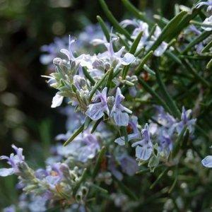 Розмаринът – вълшебна билка и деликатна подправка