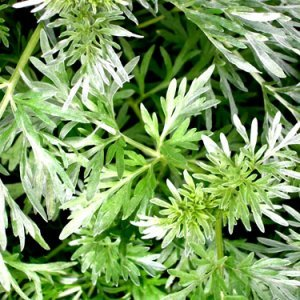 Ползата и вредата от билката пелин