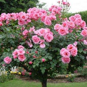 Как се отглеждат щамбови рози