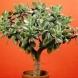 Как да се грижите за Дървото на живота, ако искате да цъфти