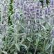 Градински чай - природен антибиотик за женските болести