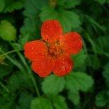 Омайниче - цветето на Купидон