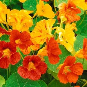 Цветето и билка Латинка