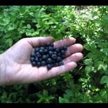 Боровинките – лек за много болести