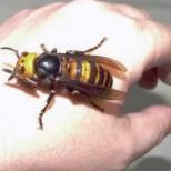 Съвети от един пчелар: Когато ви ухапе оса, пчела или стършел - това ще ви спаси от болка и подуване!