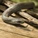 Змия пропълзя в чантата на перничанин, занесе си я у дома