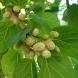 Черниците – мощните и достъпни плодове, лек за много болести
