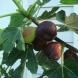 Невероятните ползи от смокиновите листа, за които не знаете