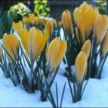 Легенди за красивите пролетни цветя