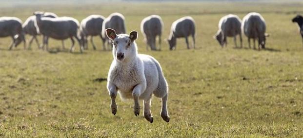 Плацента от овца за подмладяващи процедури