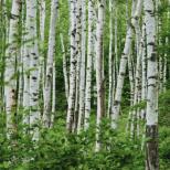 Дървета-доктори, които могат да ви излекуват-Бреза за остеохондроза на шията, бор ...