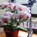 Домашни цветя, които носят късмет, любов и финансово благополучие-Фикусът носи късмет за зачеване,орхидея е източник на ...