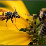 Какво да правим при ухапване от пчела, или оса