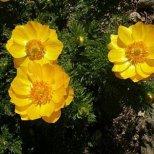 За какво е полезна билката гороцвет