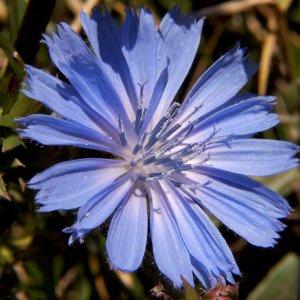 За какво е полезна Цикорията- Синя жлъчка