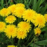 Вижте вълшебните свойства на това малко, пролетно слънчице, глухарчето! Сега е времето да си наберете!