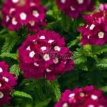 Сега е моментът: Засадете си у дома това цвете - Носи щастие и пази от нечисти сили!