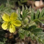 Българска билка, с която се сваля моментално холестерола и топи шипове
