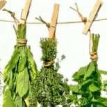 Как да си изсушим полезните риган и мащерка