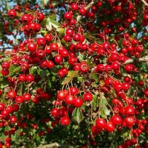 Лечебните свойства на чай от глог за сърцето и кръвното