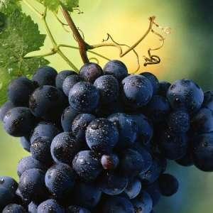 Полезните свойства на гроздовите семки