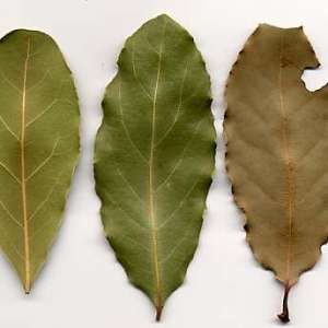 Дафиновият лист - уникална подправка и лекарство