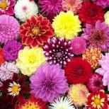 Как да се грижим за Царицата на градинските цветя-Далията през есента