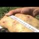 Отгледаха български картоф гигант!
