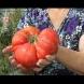 Всяка година си правя този разтвор и с него поливам доматите, няма да ви кажа каква реколта изкарвам, чудя се какво да правя доматите