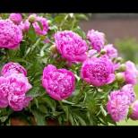 Това цвете носи голям късмет в любовта!