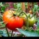 2 подправки и ще имате реколта като за цяло село, ще се чудите какво да правите с толкова домати