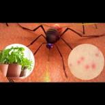 Не помагаха ни мрежа, ни ултразвук: бях станала на решето! Откакто ги засадих, комар не е прехвъркнал: държи далеч малките кръвопийци!