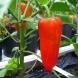 Как да садите или пресаждате домати, или чушки, за да се развиват по-бързо е да имате богата реколта