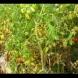 Когато пожълтеят доматите в градината и започнат да боледуват слагам 1 лъжичка от тази подправка и спасявам плода