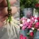 С този трик, ако сте купили рози от цветарски магазин, или са ви ги подарили, всеки може лесно да си завъди корени и да си ги посади