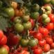 Това е най- важното нещо, което трябва да правите, ако искате голяма реколта домати