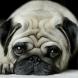 Това са 10-те най- мързеливи кучета, които са идеални за хора, които нямат чак толкова свободно време