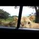 Тя снима лъвовете, докато почиват, а после се случи нещо, от което да ти настръхнат косите!