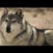 Те пуснаха 14 вълка в парка и никой не очакваше това, което последва!