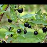 Как се използва Беладона-Токсичната билка лика може и да лекува