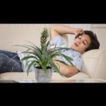 Билка, която предотвратява хъркането, почиства въздуха в стаята и стимулира добрия сън