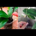 Преди 10 дни забърках на орхидеите страшен витаминозен коктейл! Тази сутрин 3 от тях имаха нови цветоноси, а 2 - издънки!