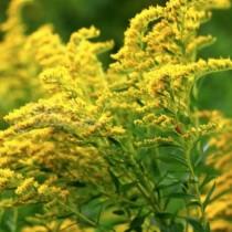 Златна пръчица – вълшебната билка при цистит
