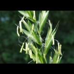 Тази трева ни е дадена от Бог за нашето лечение-Няма нито едно заболяване, което да не лекува, от очни до онкологични проблеми